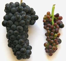 Късовъзлие по лозата сравнено със здрав грозд